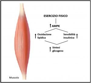 Effetto dell'esercizio fisico sulla sintesi del glicogeno