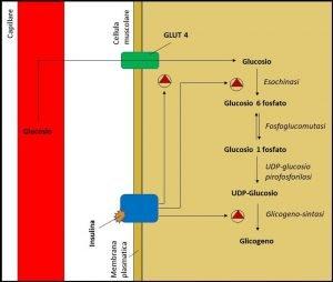 sintesi del glicogeno